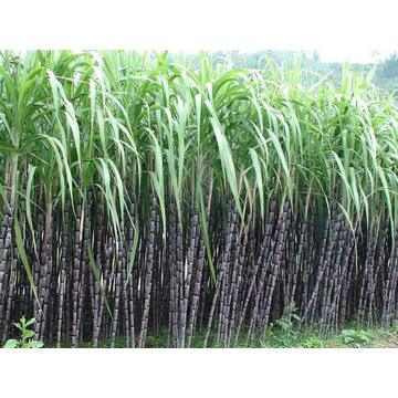 Imported sugarcane based EVA