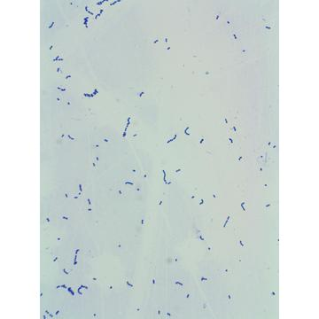 High Quality Streptococcus Thermophiles With Cheap Price