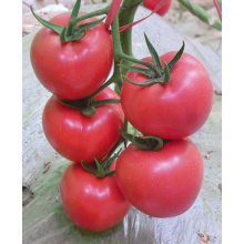 F1 hybrid tomato seeds for sale