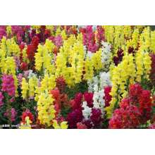 Common Snapdragon Flower Seeds