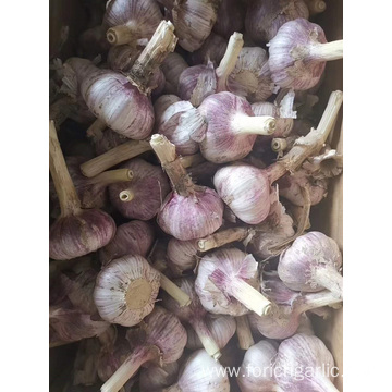 2019 Fresh Normal White Garlic In Sizes 5.0-5.5cm