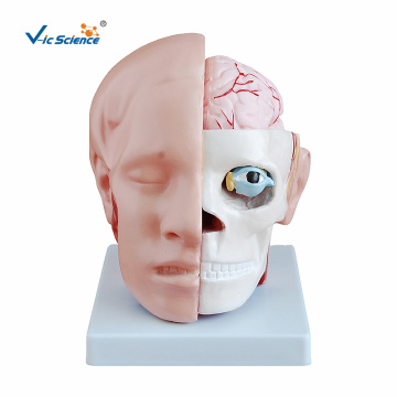 Human Head with Brain Model