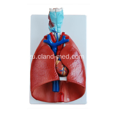 I-Larynx, i-Heart and Model Lung