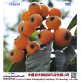 Fresh Tasty Healthy Self-planted Loquat