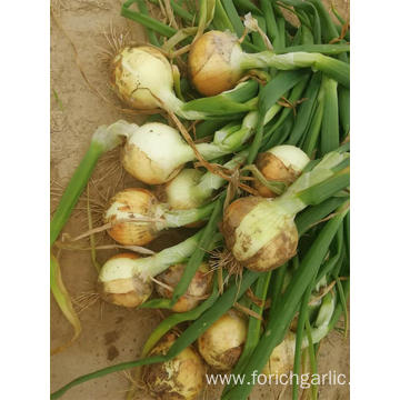 Good Quality New Crop Of 2019 Yellow Onion