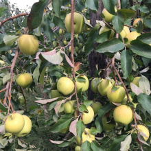NingXia New Fresh Small Size Organic Golden Delicious