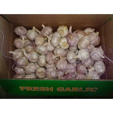 Fresh Garlic Normal Garlic
