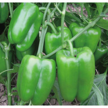 F1 hybrid sweet green pepper seeds
