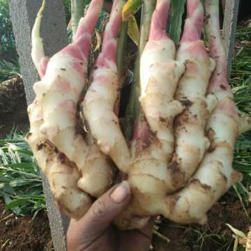 FRESH GINGER NEWS CROPS 2020 FROM  ANQIU
