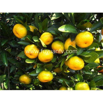 Wholesale Price Baby Mandarin with Good Quality