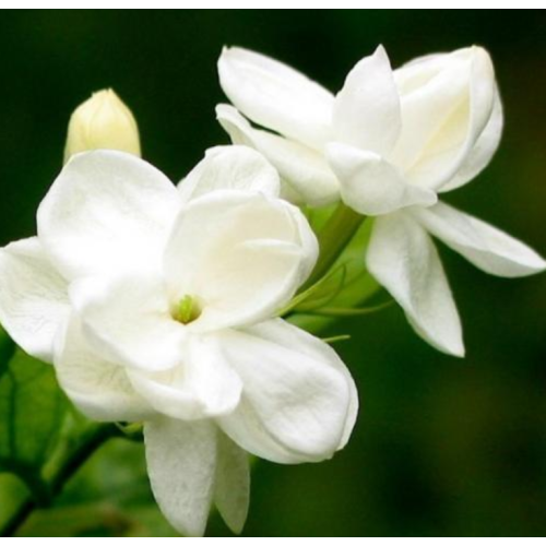 Jasmine essential oil is good for the body