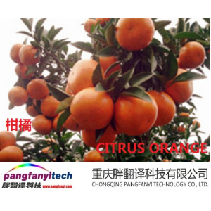 Healthy Fresh  Sour-sweet  Self-planted Navel Orange