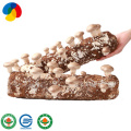 High yield easy cultivate Shiitake mushroom spawn