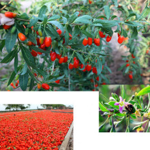 Certified Organic Goji Berry From Ningxia