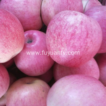 Wholesale Price Qinguan apple with good quality