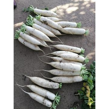 Chinese Fresh White Radish