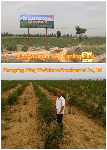 Goji berry planting farm