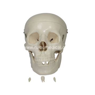 Life-Size Skull Model for Medical Teaching