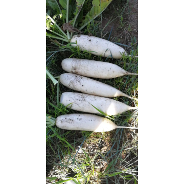 fresh new crop high quality white radish