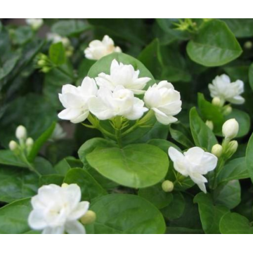 Jasmine essential oil that can reduce scars