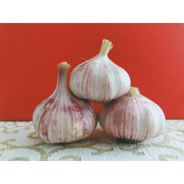 Fresh high quality purple garlic
