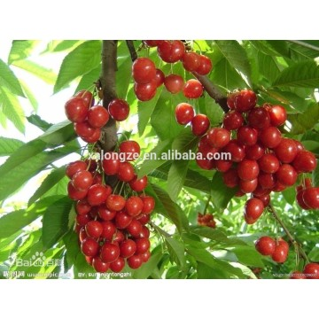Organic Tart Cherry Extract Powder
