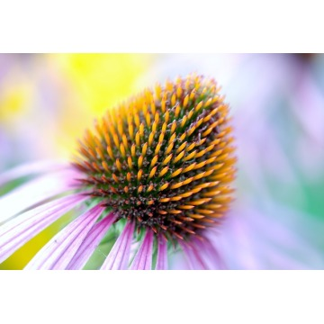 Best Quality Organic Echinacea Purpurea Extract