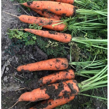 Red Carrots of Vegetables Exporting Field