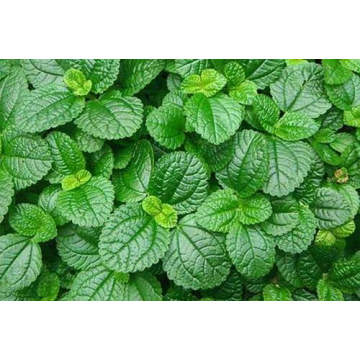 Peppermint Essential Oil 50ml