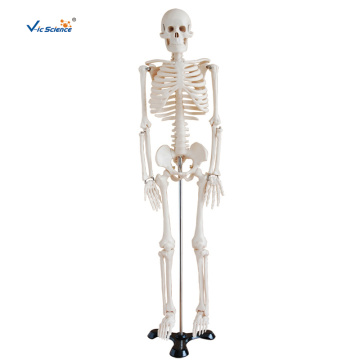 85CM Skeleton Teaching Model