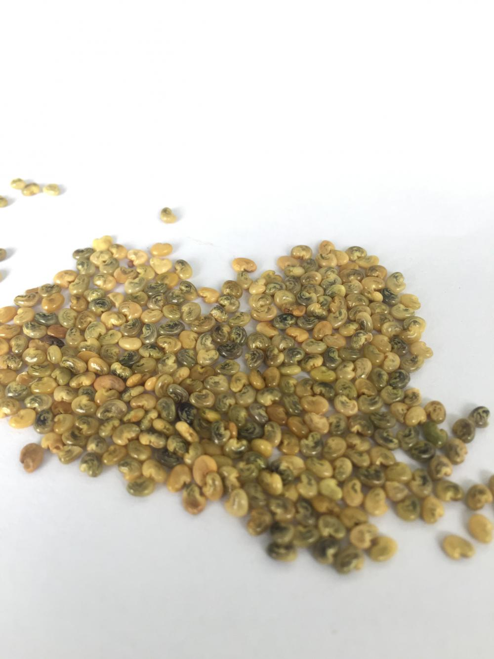 Bulk Factory Supply Crotalaria Mucronata Seeds
