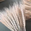 Grain Wheat