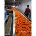 Fresh Carrot New Crop 2019