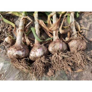 2020 harvest early garlic purple garlic