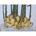 CHINESE NEW CROP GINGER
