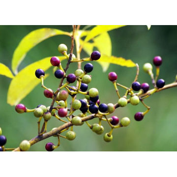 Pure Natural Litsea Cubeba Oil