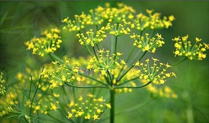 fennel flower4