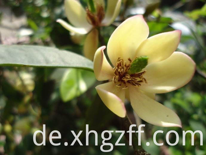 Michelia Flower Essential Oil Factory