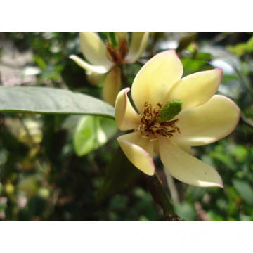 Michelia Flower Essential Oil 10ml