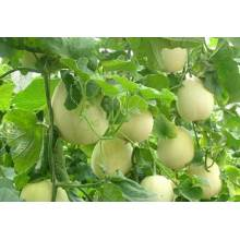 Cuili round white F1 hybrid sweet melon seeds
