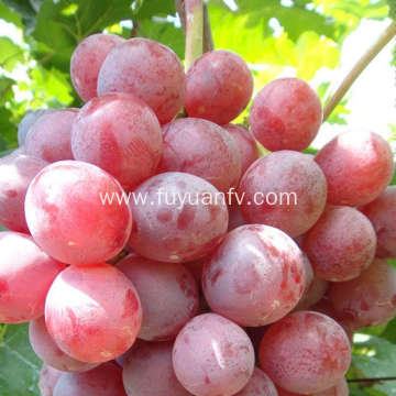 Best Quality and Price for Red Grape
