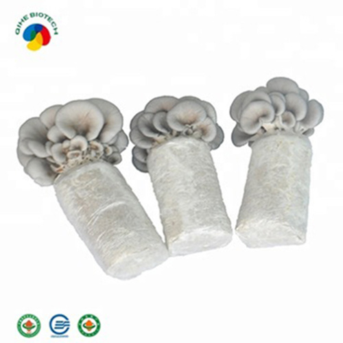 Cultivated Oyster Mushroom Spawn Bags