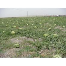 Hybrid good quality red watermelon seeds