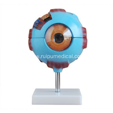 Giant Eye Model for Medical Teaching