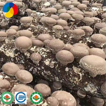 Mass- produced and Organic Shiitake Mushroom Spawns/Fungus