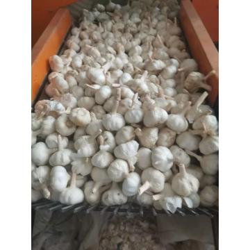 2020 best wholesale fresh garlic price