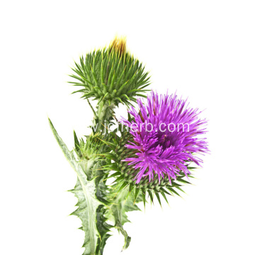Silybum Marianum Extract