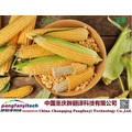 Natural Tasty Healthy Self-produced Corn