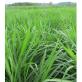 Wholesale ryegrass seed for pasture and forage