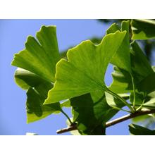 Ginkgo biloba L extract flavone and Lactone